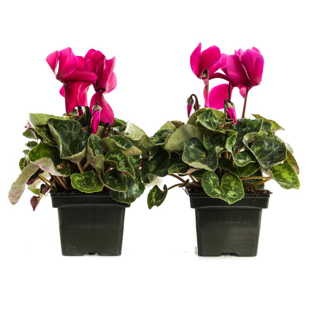 1.21-Pint Purple Cyclamen Latinia in 4 in. Pot (2-Pack)