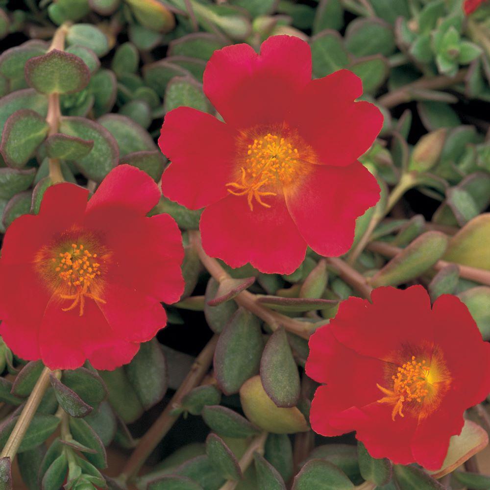 1.38 Pt. Purslane Plant Red Flowers in 4.5 In. Grower's Pot (8-Plants)