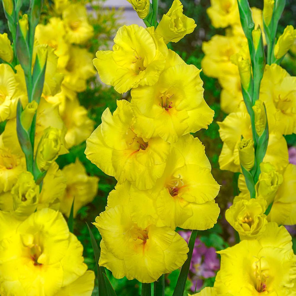 Multi-Color Flowers Bananarama Gladiolus Bulbs (25-Pack)