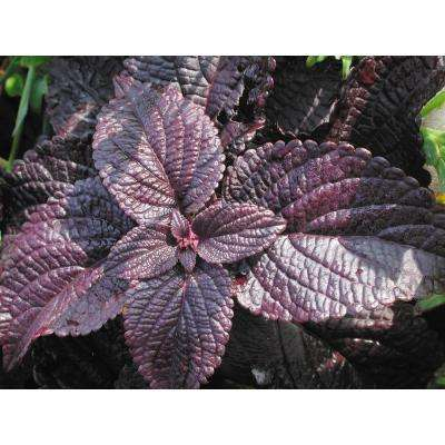 ColorBlaze Dark Star Coleus (Solenostemon) Live Plant, Dark Purple Foliage, 4.25 in. Grande, 4-pack