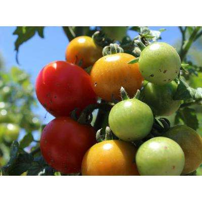 4.25 in. Grande Proven Selections Homegrown Cherry Tomato Live Plant Vegetable (Pack of 4)