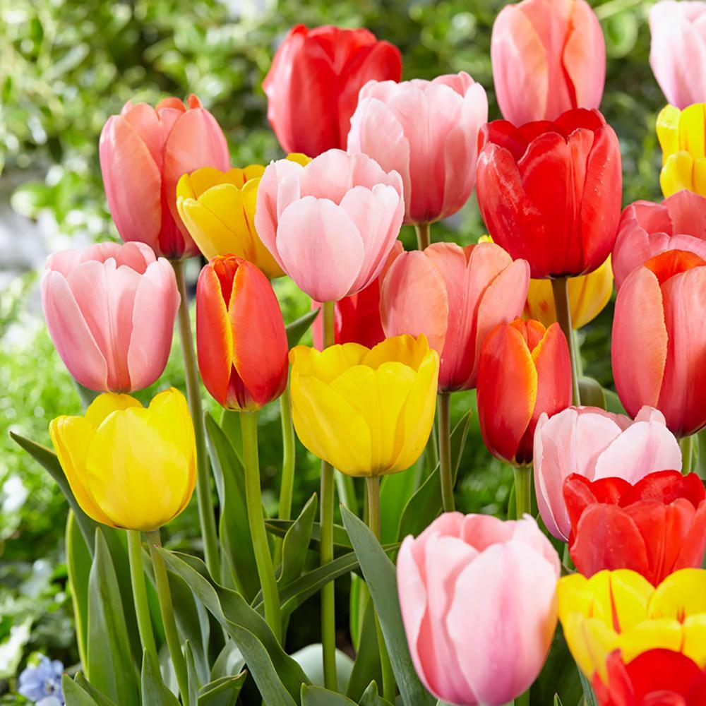 Full shade flower bulbs garden plants flowers the home depot tulip mix bulbs 50 countpack mightylinksfo