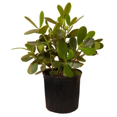 20 in. x 26 in. Tall Clusia Autograph Shrub Plant in 9.25 in. Grower Pot