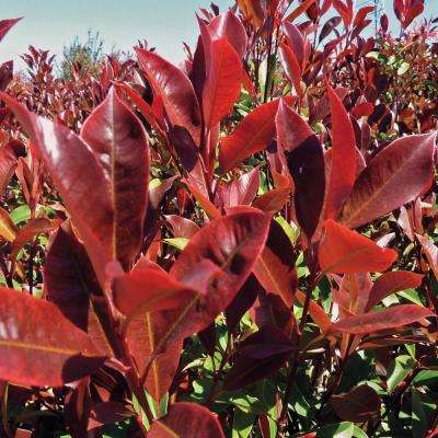 2.5 Qt. Dynamite Photinia, Live Broadleaf Evergreen Shrub, White Flowers with Red and Green Foliage (1-Pack)