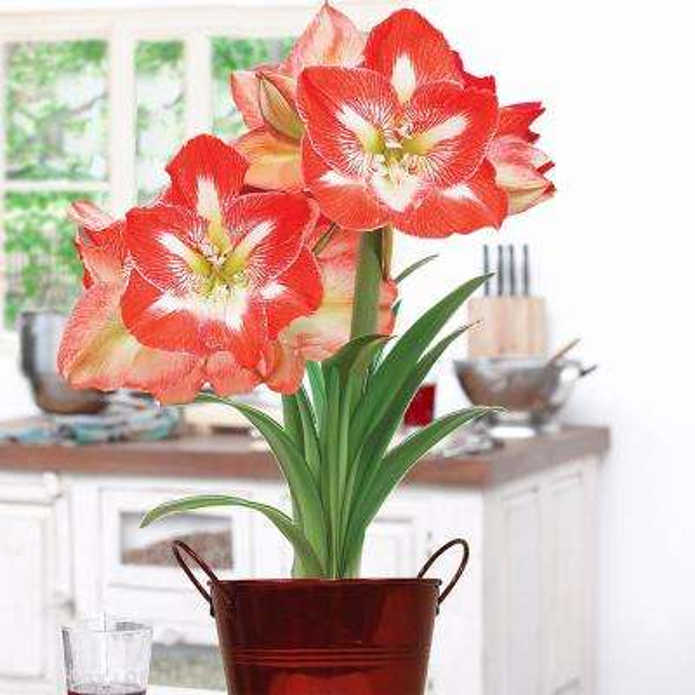 Red Amaryllis Kit Christmas Gift with Artisan Decorative Planter 1 Bulb