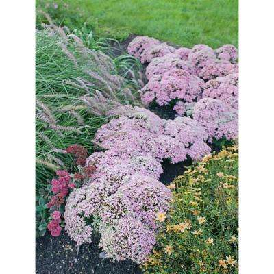 0.65 Gal. Rock 'N Grow Pure Joy Stonecrop (Sedum) Live Plant, Pink Flowers
