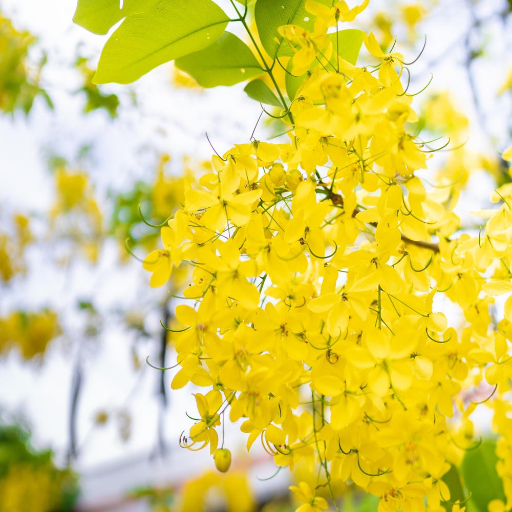 2 4 Gal Golden Showers Cassia Tree With Bright Yellow Fragrant