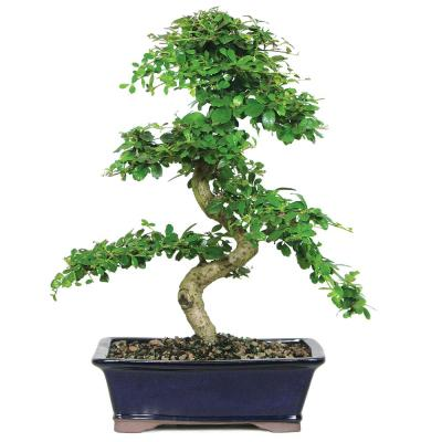 Fukien Tea Bonsai