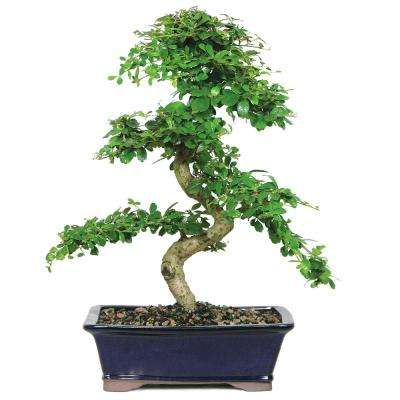 Ien Tea Bonsai