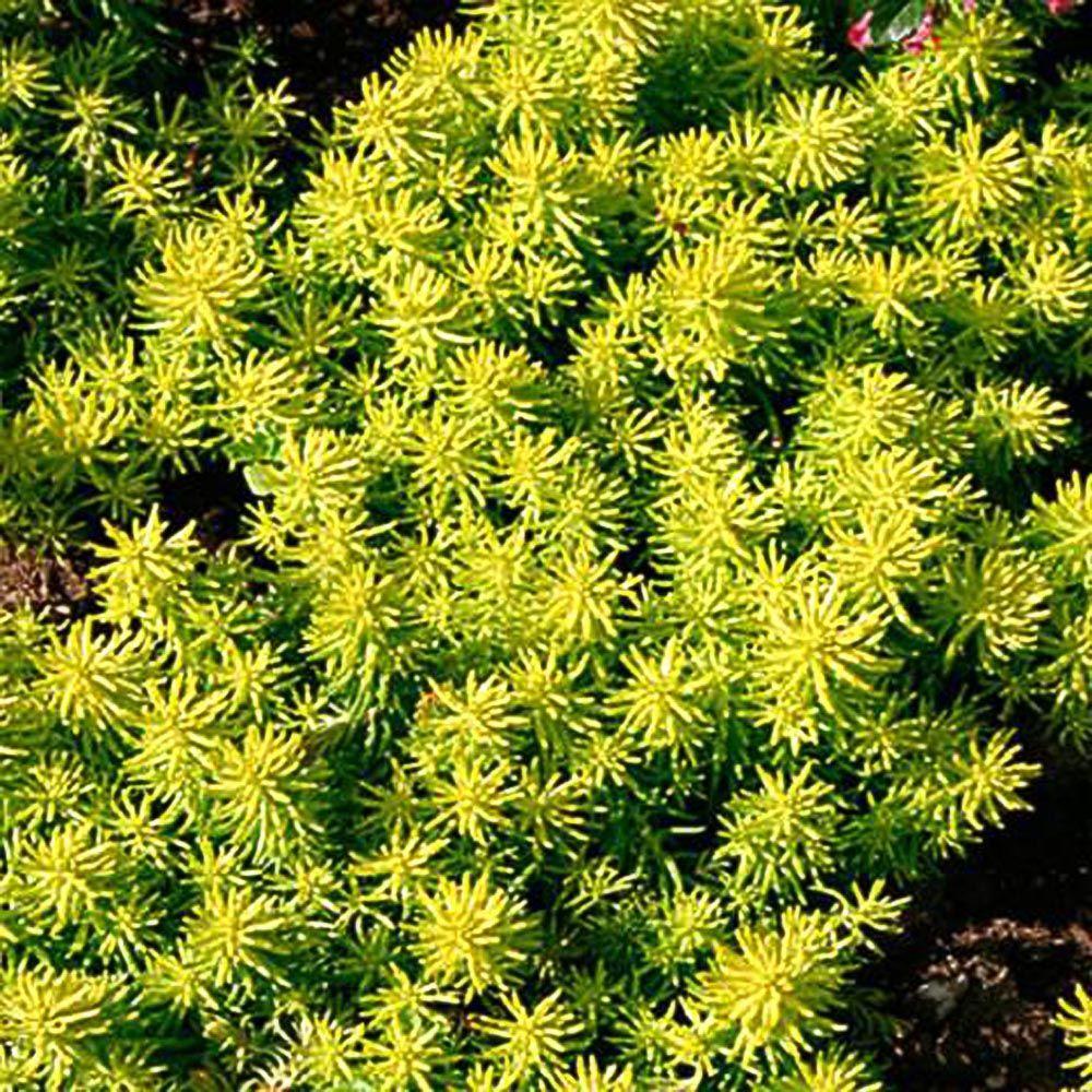 Flowering perennial yellow full sun perennials garden plants 1 gal angelina stonecrop sedum plant mightylinksfo Gallery