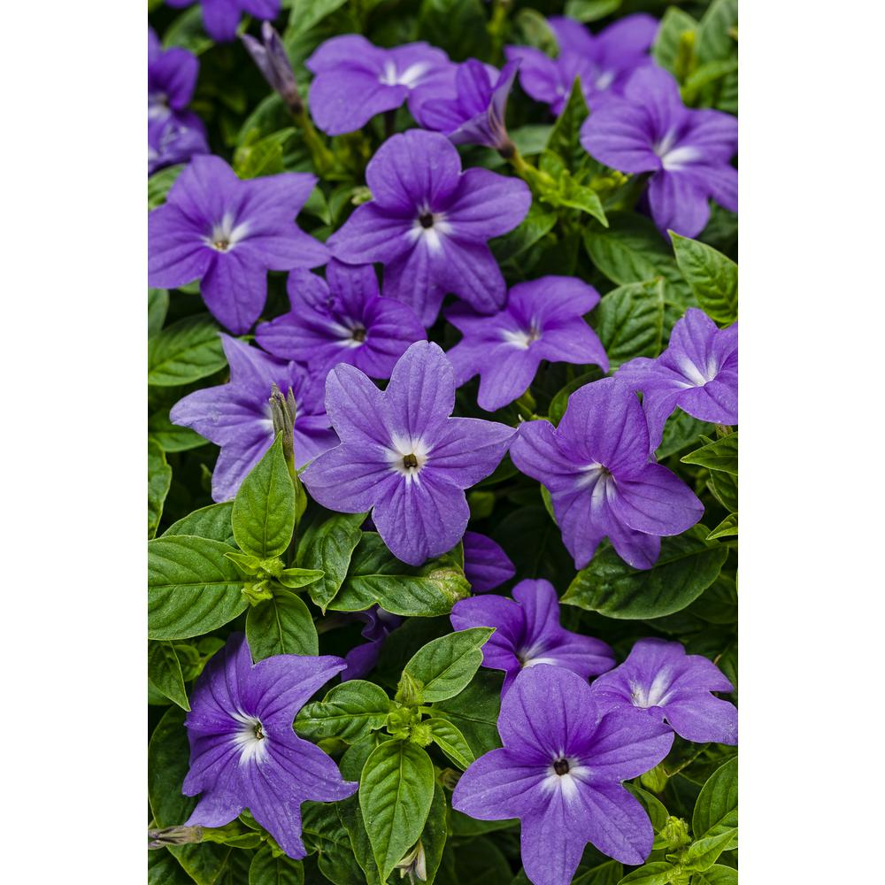 Proven Winners Endless Illumination Browallia Live Plant Blue