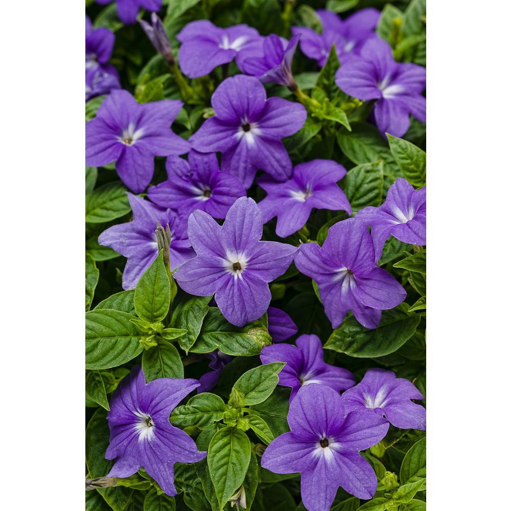 Endless Illumination (Browallia) Live Plant, Blue-Purple Flowers, 4.25 in. Grande, 4-pack
