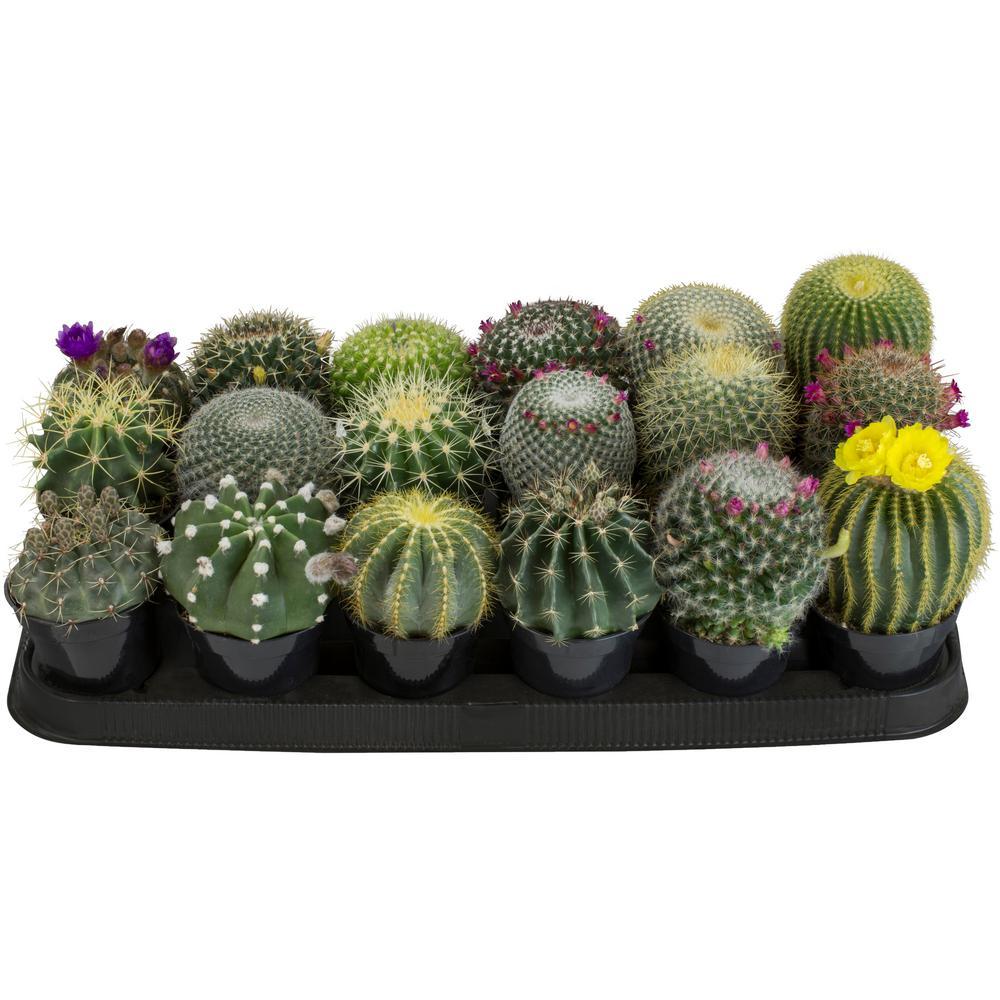 9 cm Cactus Assortment Plant (18-Pack)