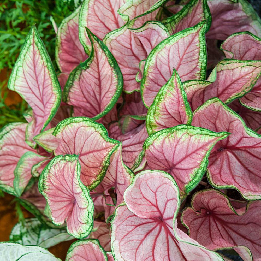 Breck S Multi Colored Foliage Florida Sweetheart Caladium