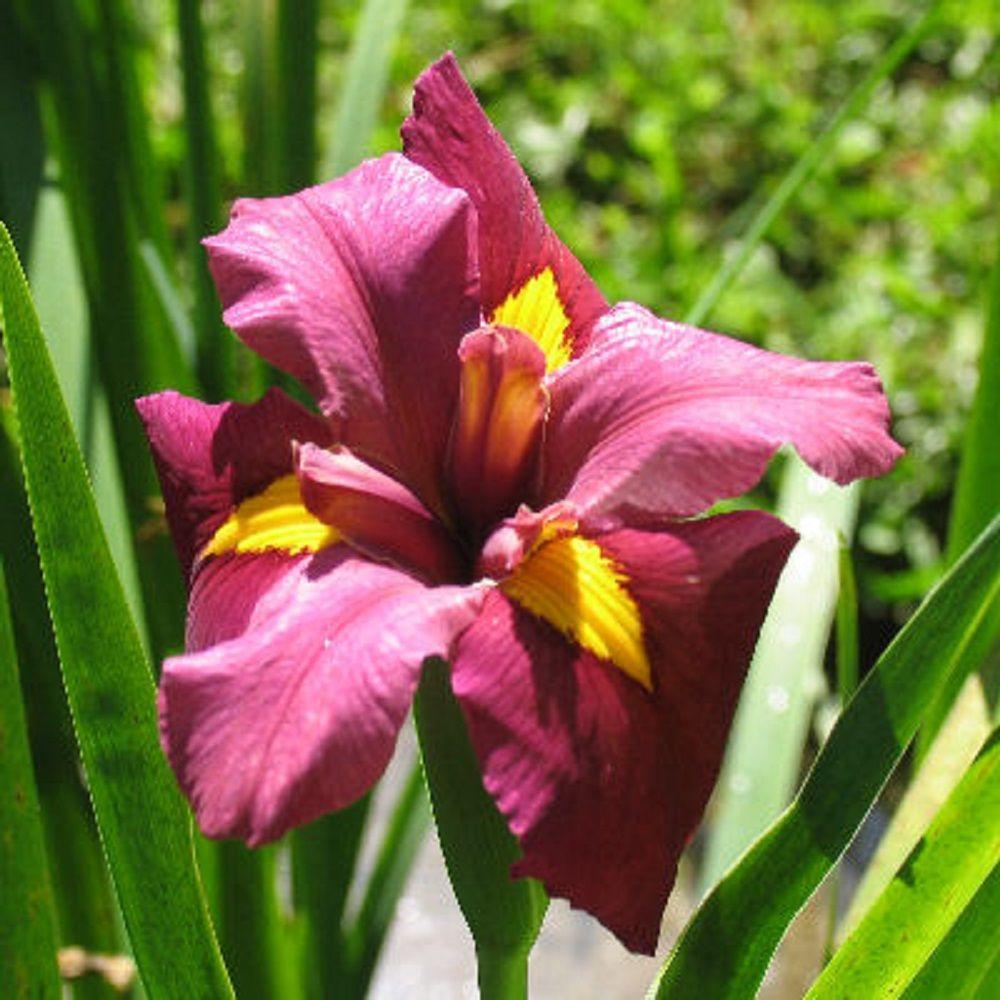 4 in. Potted Red Louisiana Iris-James Dickenson Aquatic Bog/Marginal Pond Plant