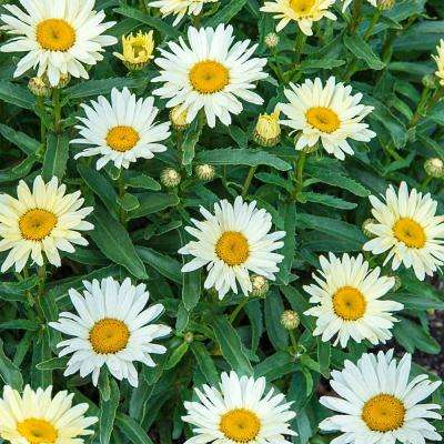 Yellow perennials garden plants flowers the home depot 3 in pot proven winners banana cream shasta daisy leucanthemum live pernenial plant mightylinksfo