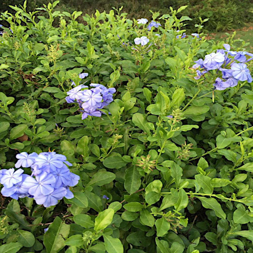 1 Gal. Imperial Blue Plumbago Shrub with Blue Flowers