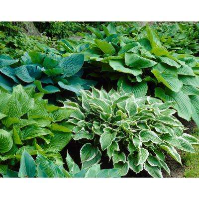 Perennial flower bulbs garden plants flowers the home depot hosta mixture bareroot 3 pack mightylinksfo