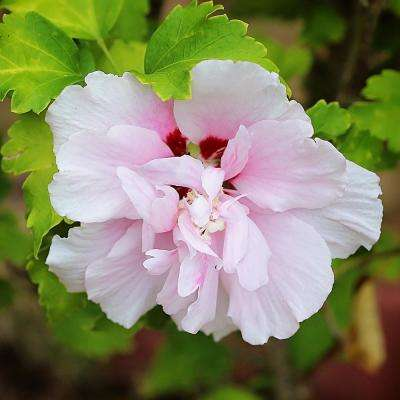 3 Gal. Double Pink Althea Shrub