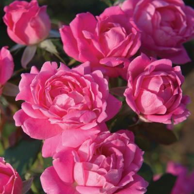 Bareroot The Pink Double Knock Out Rose Bush with Pink Flowers (2-Plants)