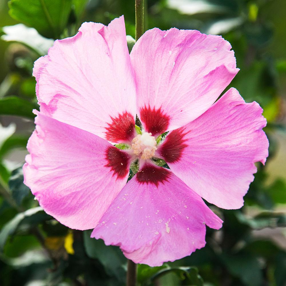 2.50 Qt. Pot Aphrodite Althea (Hibiscus) Live Deciduous Flowering Shrub with Pink Flowers
