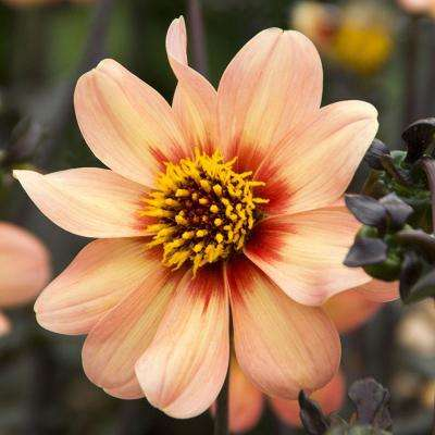 HS First Love Dahlia Bulbs (3-Pack)