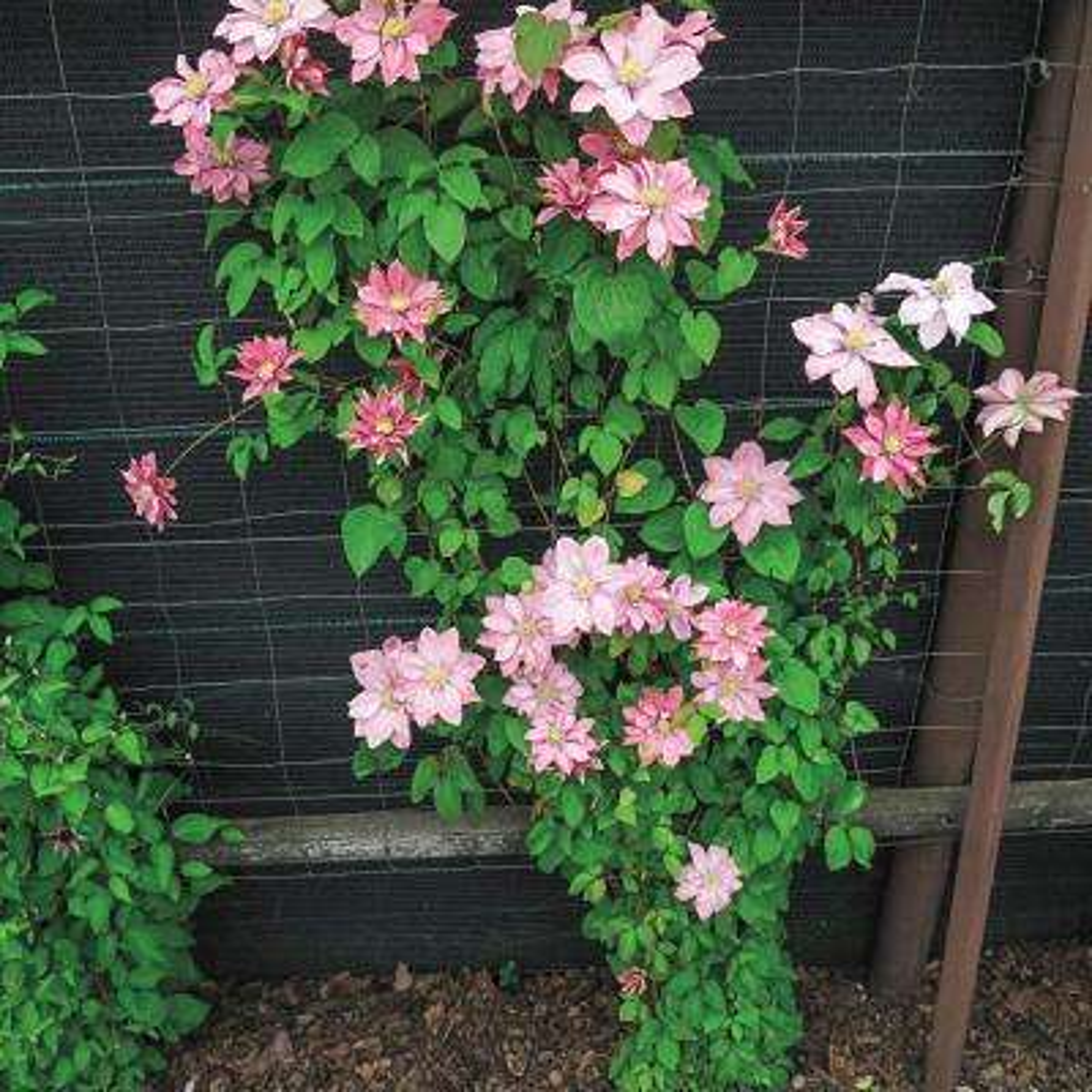 3 in. Pot Little Mermaid Clematis Live Perennial Plant Pink Flowering Vine