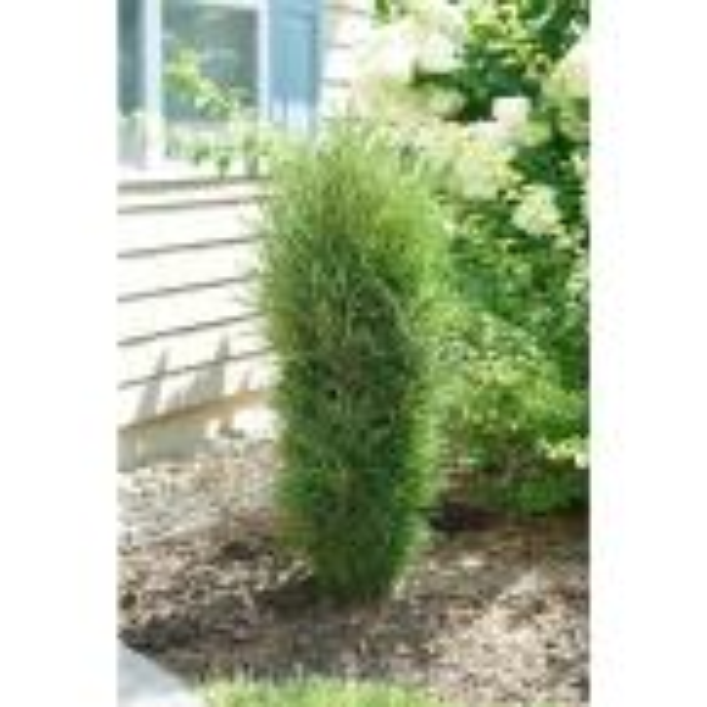 1 Gal. Fine Line Improved Buckthorn (Rhamnus) Live Plant, Green Foliage