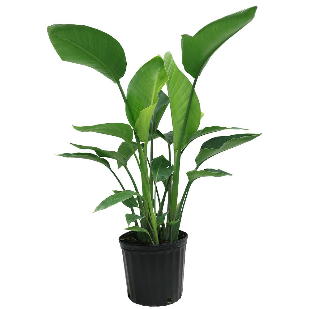 Delray plants white bird of paradise in 9 1 4 in pot for Green plants for garden