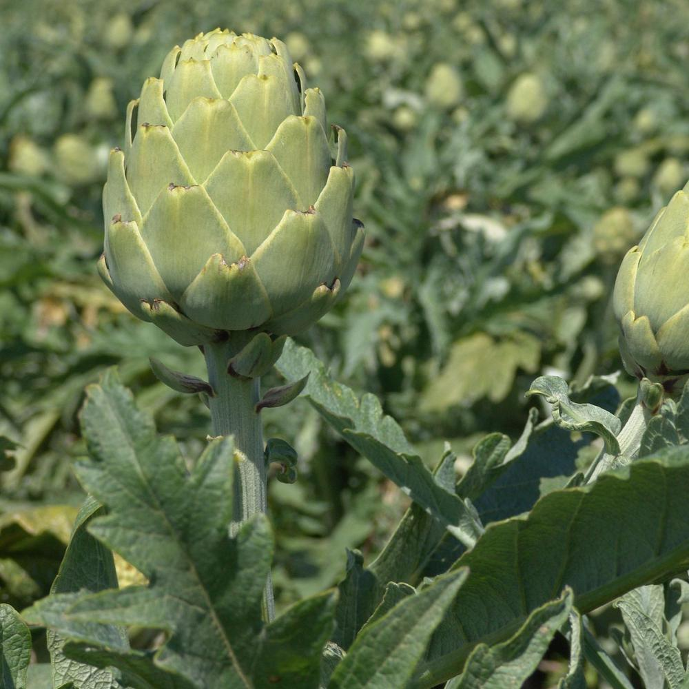 Mountain Valley Seed Company Imperial Star Artichoke Garden Seeds 500-Seeds  Premium Non-GMO Vegetable Gardening Seeds