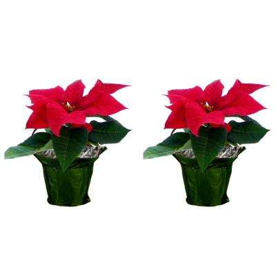 1 pt. Fresh Red Poinsettia with Green Pot Cover (Live 2-Pack)