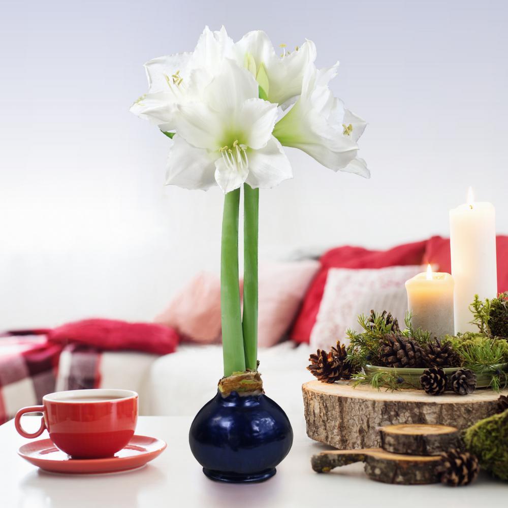 White Amaryllis Blue Christmas Waxed Blooming Bulb