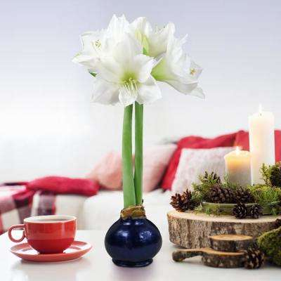White Amaryllis Blue Christmas Waxed Blooming Bulb
