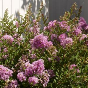 Southern living plant collection 2 gal early bird - Olive garden early bird specials ...