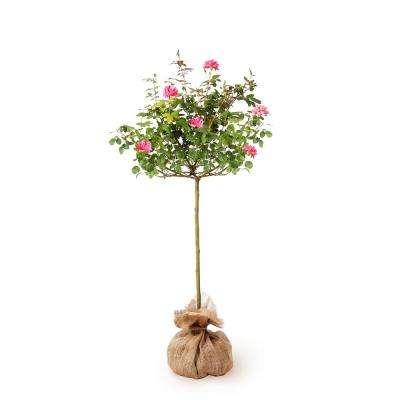 Knock Out Rose Tree with Pink Flowers