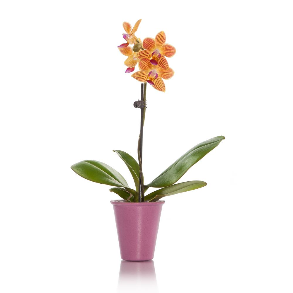 Salmon Mini Orchid Plant in Bio Pot