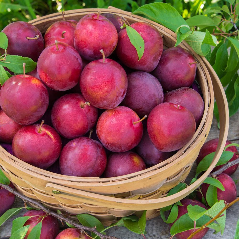 Alderman Plum Prunus Live Fruiting Bareroot Tree (1-Pack)