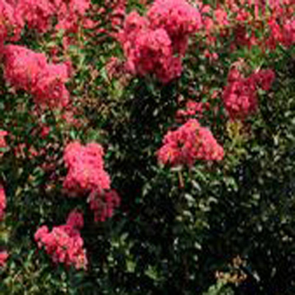 3 Gal. Tuscarora Coral Pink Crape Myrtle