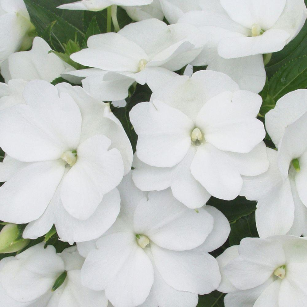 Proven winners infinity white new guinea impatiens live plant proven winners infinity white new guinea impatiens live plant white flowers 425 mightylinksfo