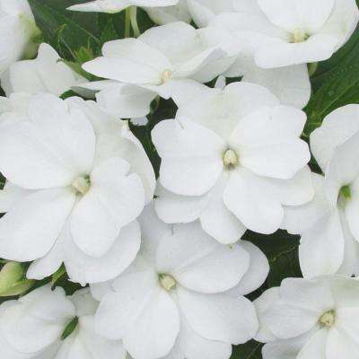Impatien white full shade annuals garden plants flowers infinity white new guinea impatiens live plant white flowers 425 in mightylinksfo