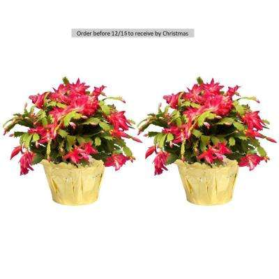 6 in. Fresh Christmas Cactus Grower's Choice (Live 2-Pack)