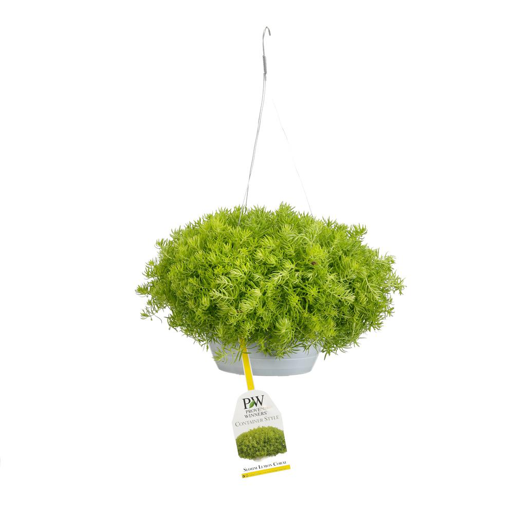 Proven Winners 10 in. Lemon Coral Mono Hanging Basket (Sedum) Live Plant, Yellow-Green Foliage