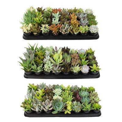 2.5 in. Succulent Plant Collection (96-Pack)