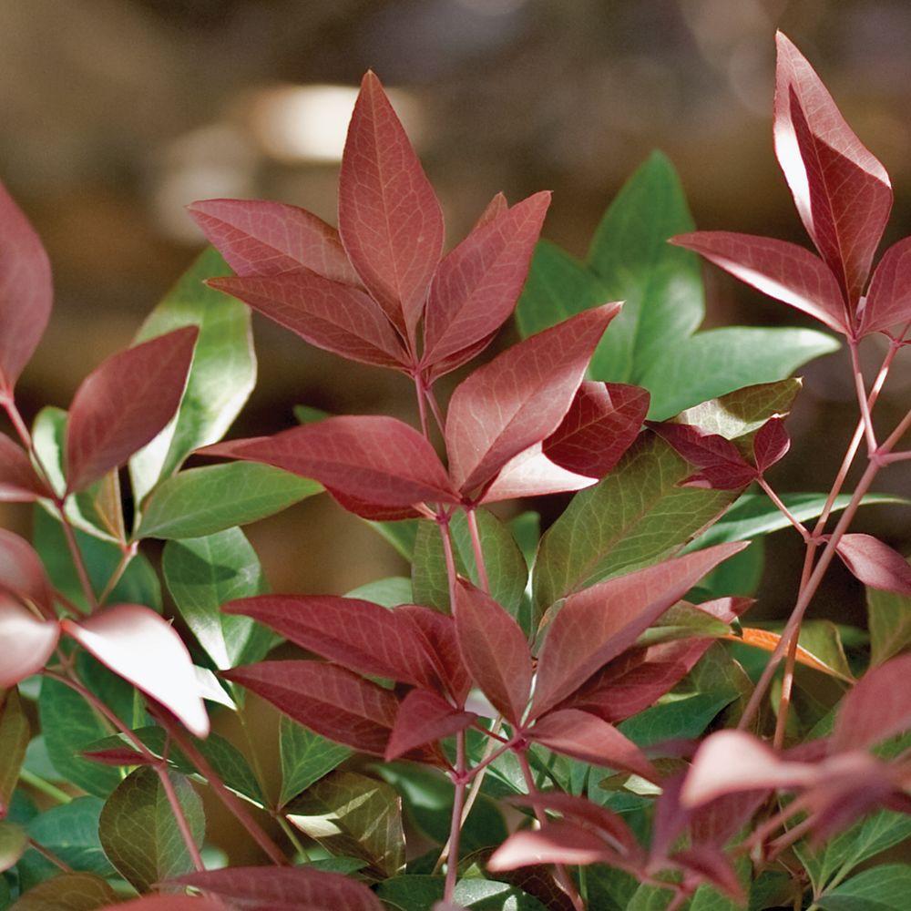 2.5 Qt. Obsession Nandina, Live Evergreen Shrub, Brilliant-Red New Foliage