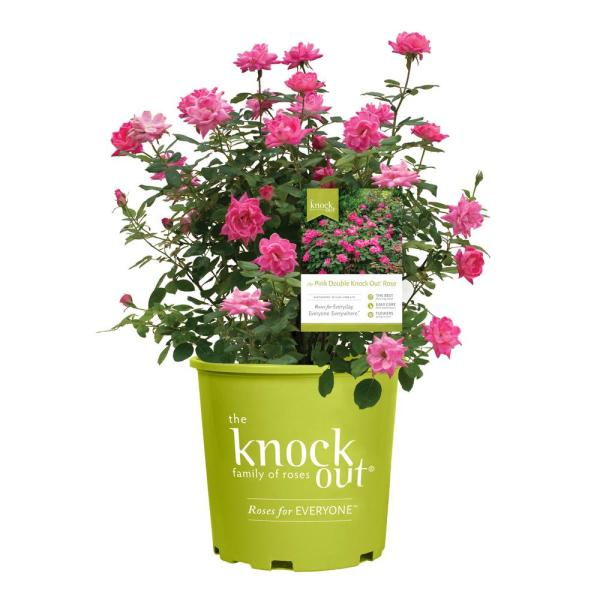 Knock Out 2 Gal. Double Rose Plant with Pink Flowers