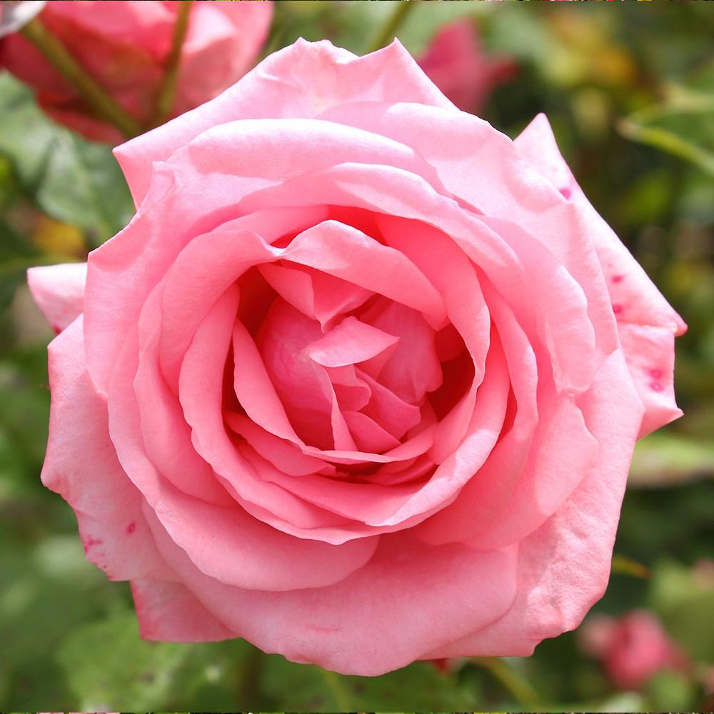 Mea Nursery All-Time Favorites GENE BOERNER Floribunda Rose with Pink Flowers was $25.98 now $10.49 (60.0% off)