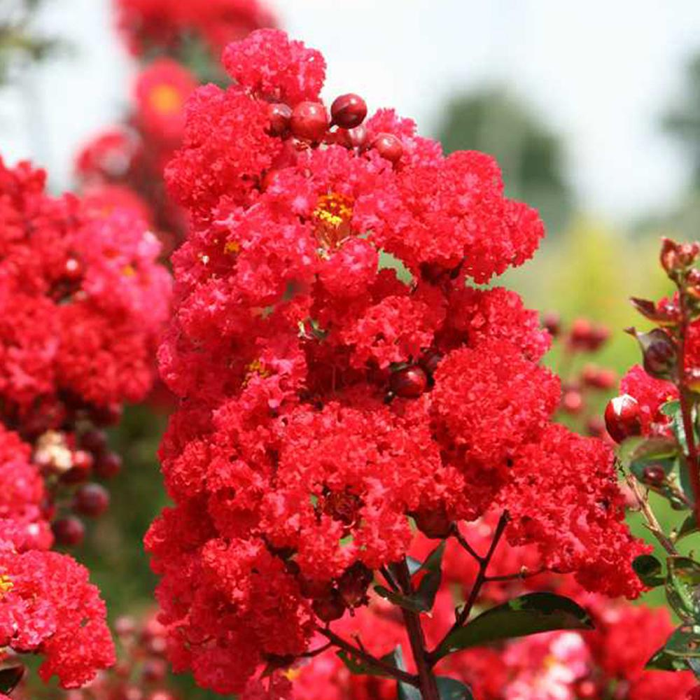 FIRST EDITIONS 3 Gal. First Editions Ruffled Red Magic Crape Myrtle Tree