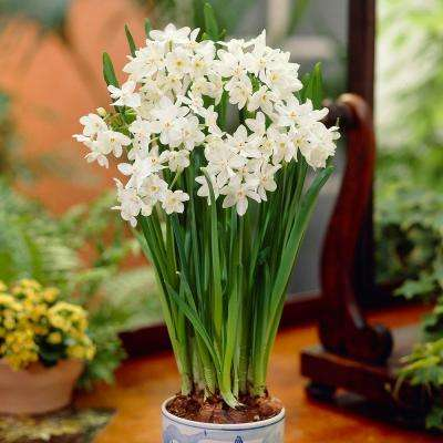 Paper-Whites Ziva Bulbs (7-Pack)