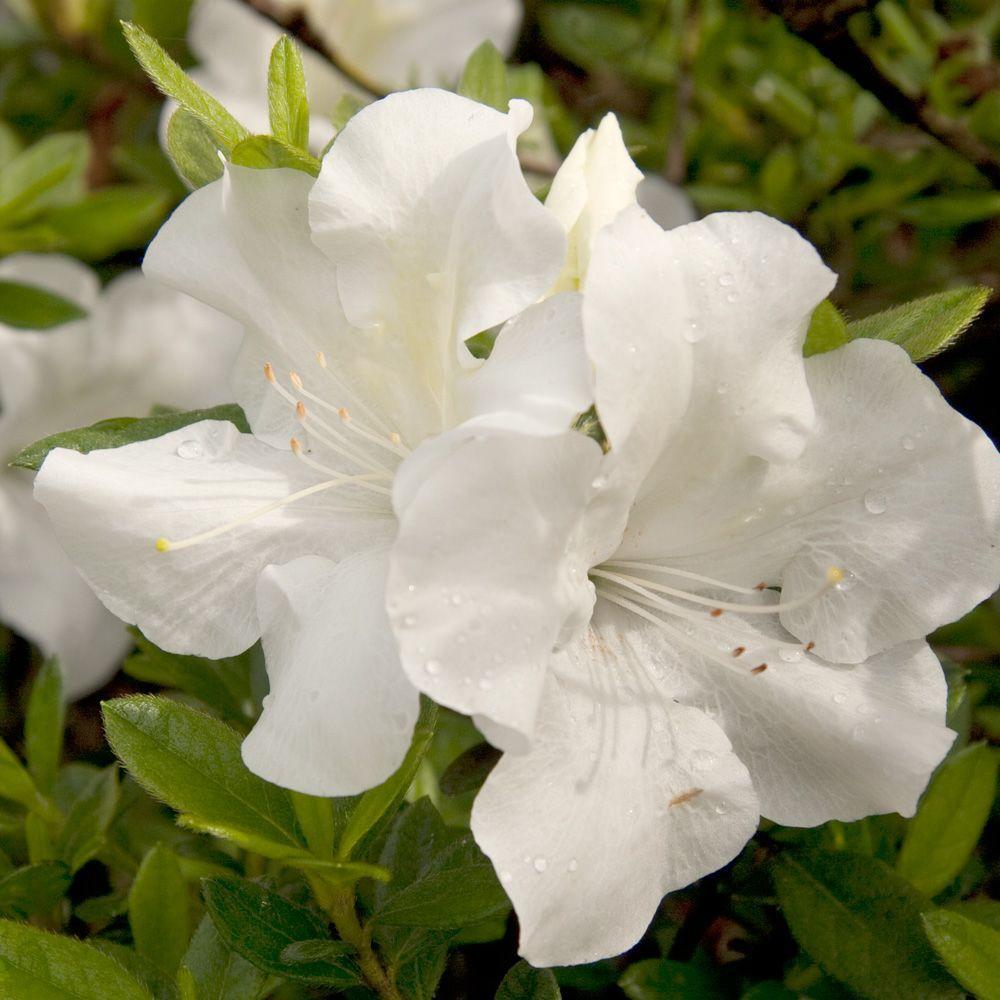 2 Gal. Autumn Ivory Encore Azalea Shrub with Bright White Reblooming Flowers