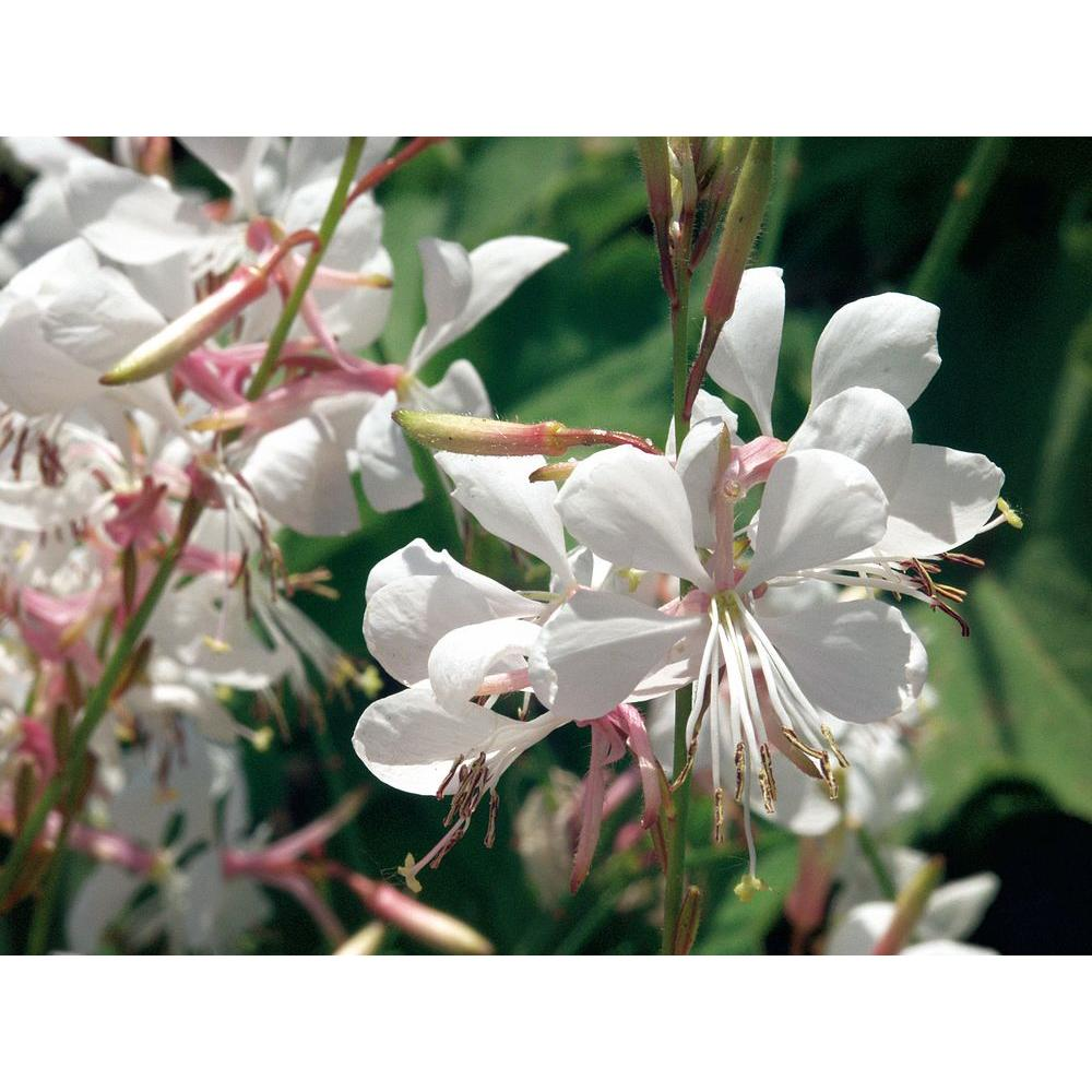 Proven winners stratosphere white butterfly flower gaura live proven winners stratosphere white butterfly flower gaura live plant white flowers 425 mightylinksfo